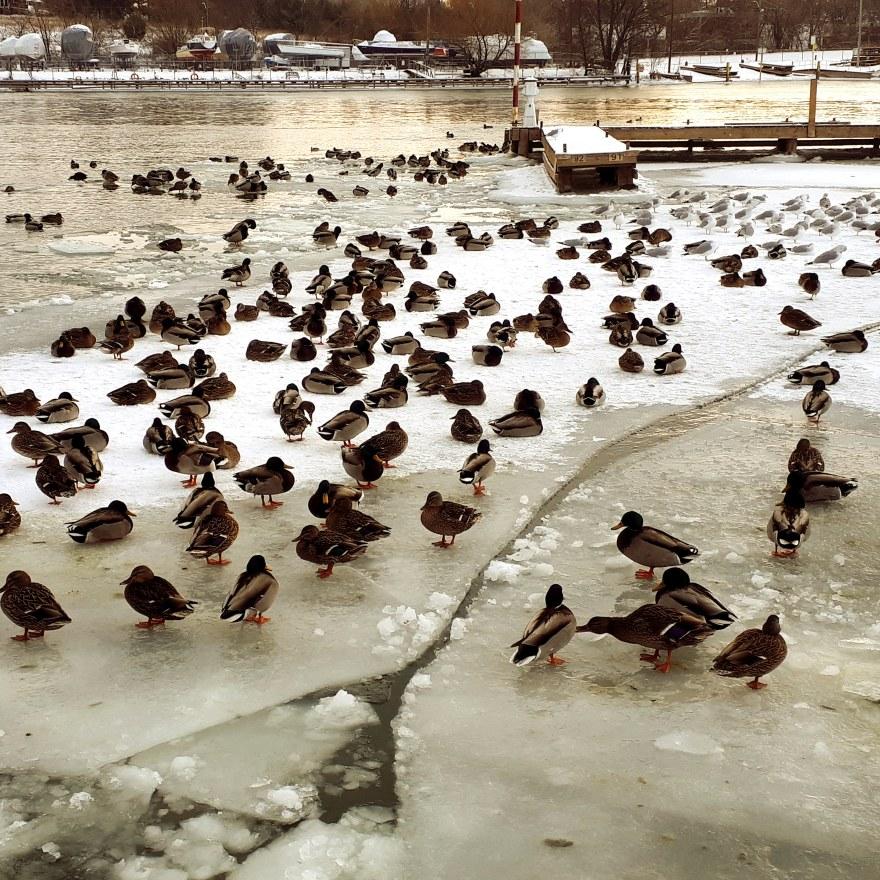 15 chilly ducks.jpg