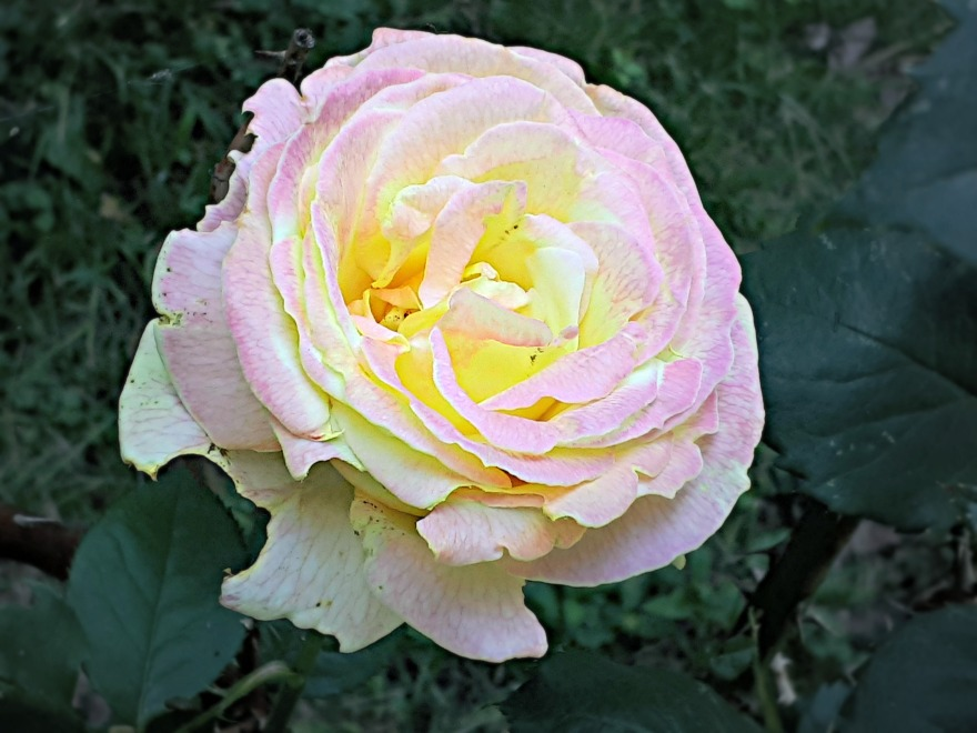179 my roses.jpg