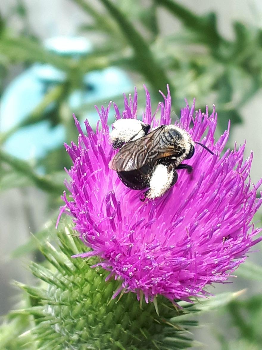 225 thistle bee