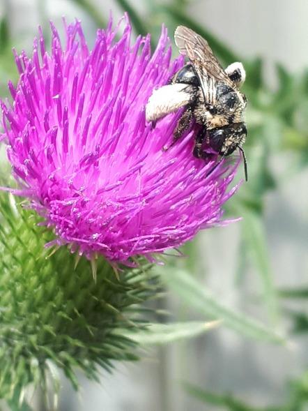 225 thistle bee2