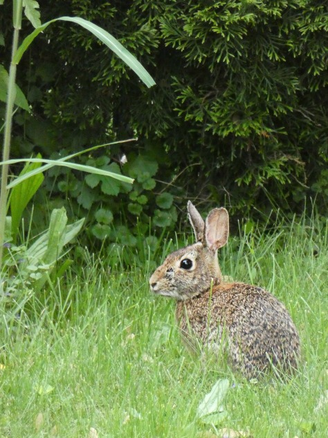 166 backyard bunny
