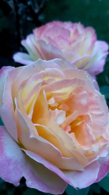 216 garden roses