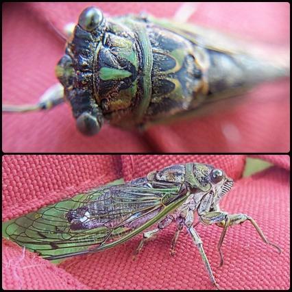 233 cicada