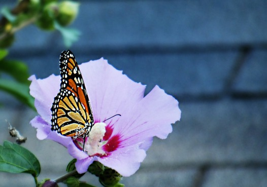 239 monarch.jpg