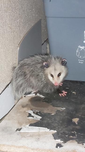 347 possum perry